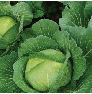 Cabbage Vegetable Seeds
