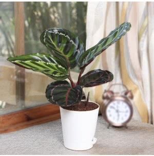 Calathea Medallion With self watering pot