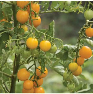 Cherry Tomatoes Seeds (Yellow)