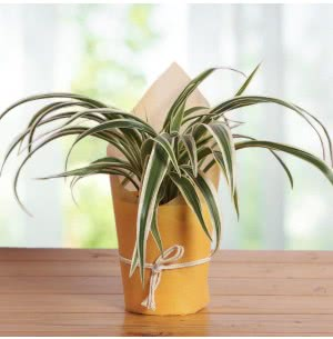 Chlorophytum Spider Plant With Self Watering Pot