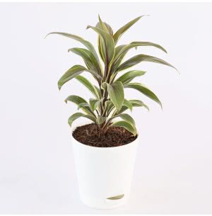 Cordyline Chocolate Queen Plant With Self Watering Pot