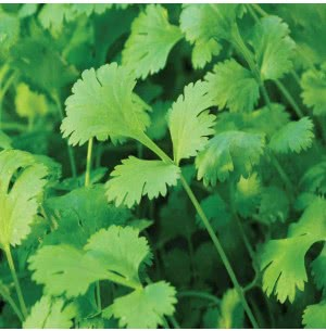 Coriander Vegetable Seeds