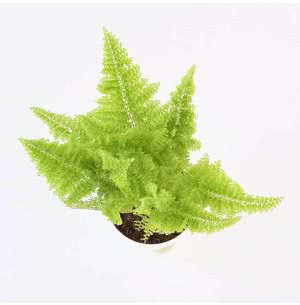 Fern Cotton Candy Plant With Self Watering Pot