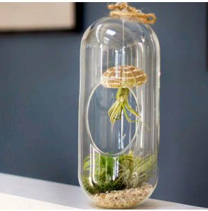 Cousteau Glass Planter With Hardy Tillandsia Air Plant