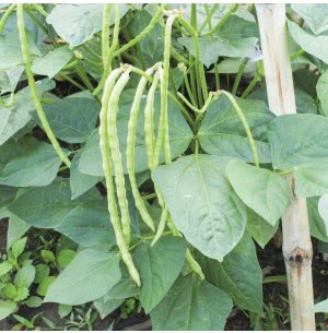 Cowpea (Lobia Beans) Vegetable Seeds
