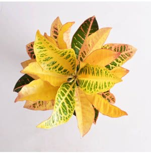 Croton Petra Plant With Self Watering Pot - Medium