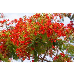 Delonix Regia Tree Seeds (Flamboyant Tree) - 100 g
