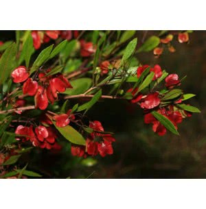 Dodonaea Viscosa Tree Seeds - 100 g