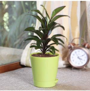 Dracaena New Plant With Self Watering Pot