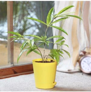 Dracaena Golden Milky With Self Watering Pot