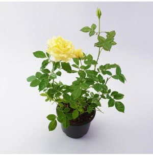 Rose Yellow Plant
