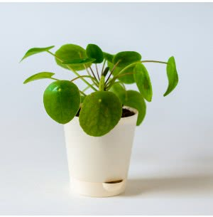 Pilea Peperomioides Plant with Self Watering Pot