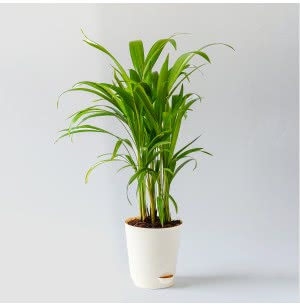 Areca Palm Plant with Self Watering Pot