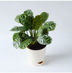 Calathea Burle Marxii Plant With Self Watering Pot - Medium