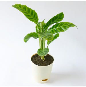 Calathea Zebrina Plant With Self Watering Pot - Medium