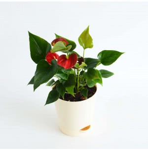 Anthurium Red Plant with Self Watering Pot - Medium