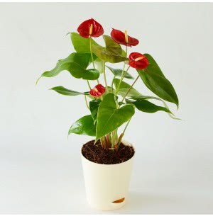 Anthurium Red Flamingo Plant with Self Watering Pot - Medium
