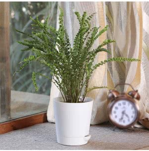 Fern Button Plant With Self Watering Pot