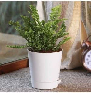 Green Fern Mini Plant