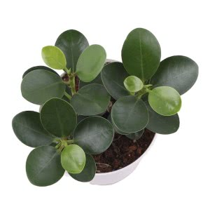 Ficus Microcarpa Plant With Self Watering Pot