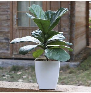Ficus Lyrata (Fiddle Leaf Fig Plant)