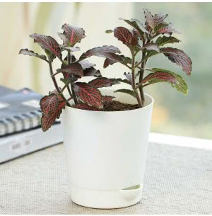Fittonia Pink With Self Watering Pot