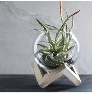 Foundation Glass-Wooden Planter With Hardy Xerographica Air Plant
