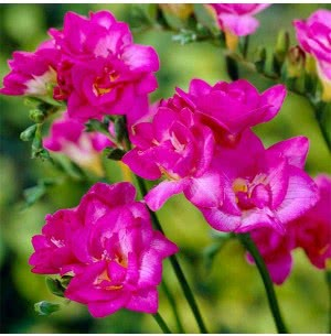 Freesia Double Pink Bulbs