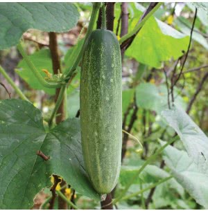 Green Cucumber Seeds (Long)