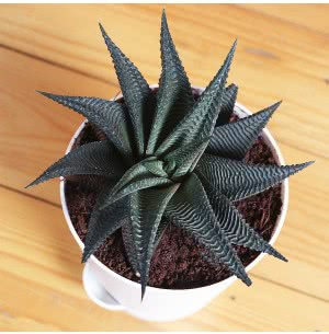 Aloe Vera Star With Self Watering Pot