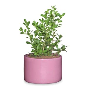 Lilac Stories 6021 Ceramic Pot (5.5 Inch Diameter)