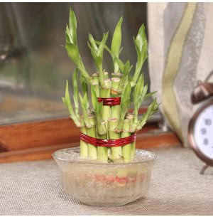 Lucky Bamboo Plant - 2 Layer