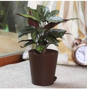 Calathea Ornata Pinstripe With Self  Watering Pot
