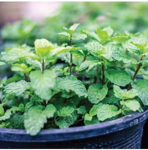 Mint Herb Seeds