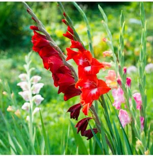 Mixed Gladiolus Flower Bulbs