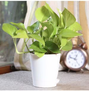 Money Plant Golden With Self Watering Pot