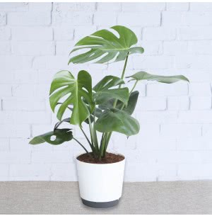 Monstera Deliciosa Plant With 7.5 Inch Self Watering Pot