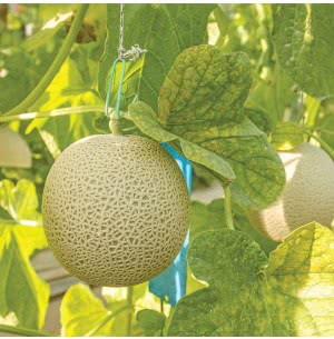 Cantaloupe Fruit Seeds (Muskmelon)