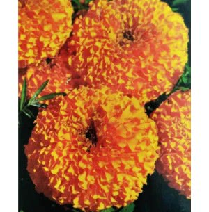 Hybrid Marigold Seeds- Marina Orange