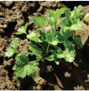 Parsley Herb Seeds