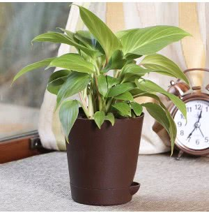 Philodendron Golden Heart Plant With Self Watering Pot