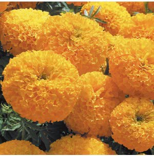 Marigold African Double (100 Seeds)
