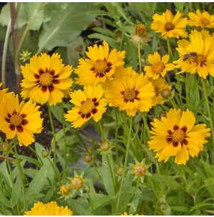 Coreopsis (100 Seeds)