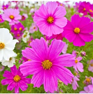 Cosmos Mix (100 Seeds)