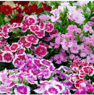 Dianthus Mix (100 Seeds)