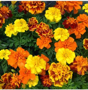 Marigold French Flower Seeds (75 Seeds)