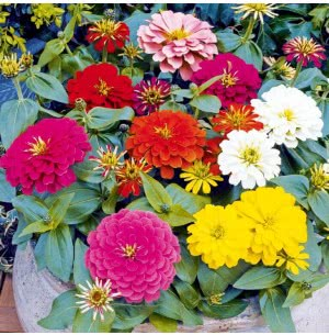Zinnia Lilliput Mix Seeds