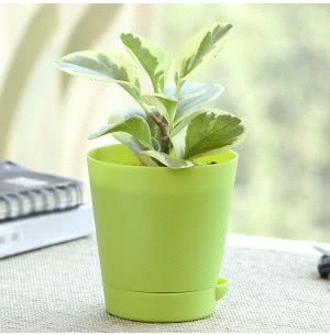 Peperomia Variegated Plant With Self Watering Pot