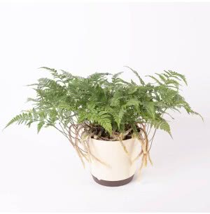 Rabbit's Foot Fern Plant with 7.5 Inch Self Watering Pot