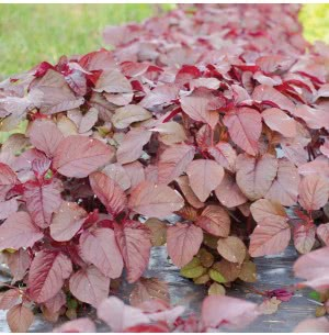 Red Amaranthus Vegetable Seeds (Red Math)